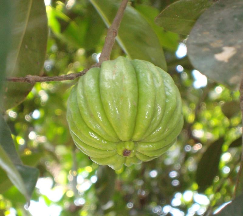 Garcinia Mangostana Seeds Extract Garcinia Cambogia Fruta Planta