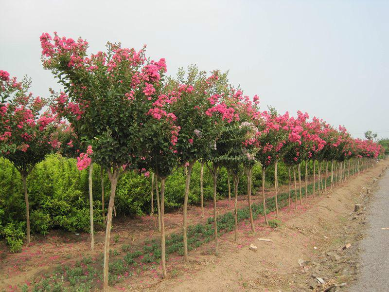 2016 New Lagerstroemia Indica Seeds Crape Myrtle Seeds For