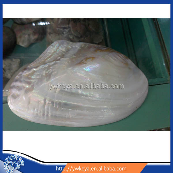 chinese fresh water river shell polished size 12-15cm