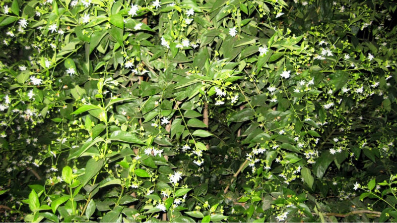 Nyctanthes Arbor Tristis Seeds,Har Singar,Coral Jasmine,Tree Of ...
