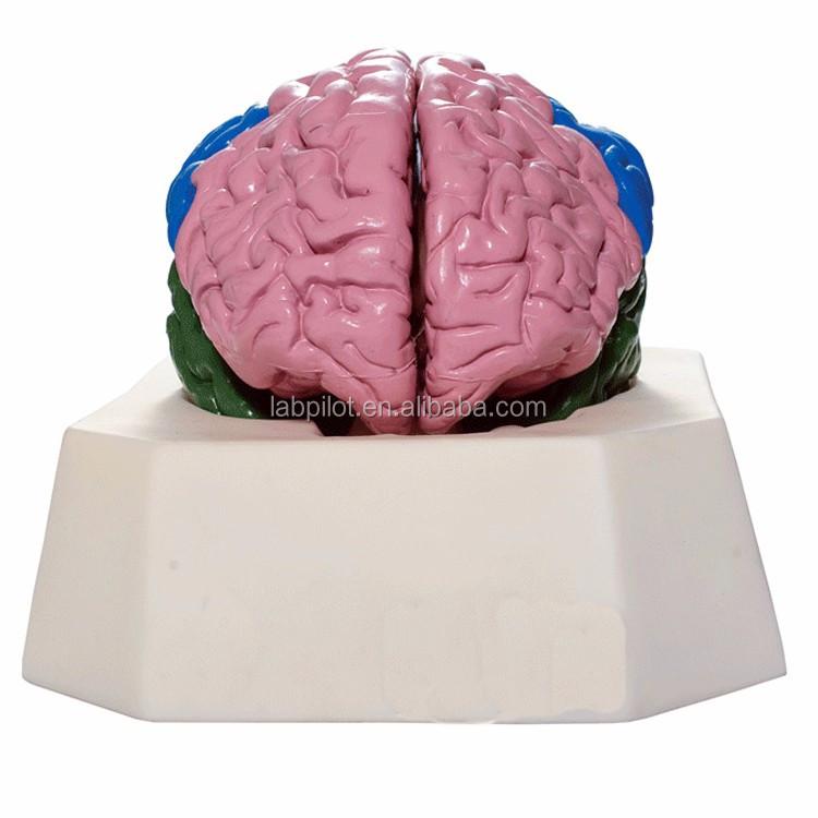 Vivid Corteza Cerebral Localización Funcional Modelo,Modelo Anatomía ...