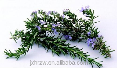 Rosemary Oil Extract from Organic Rosemary at Competitive Cost