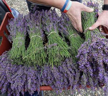 hot sale high quality new crop dried lavender flowers