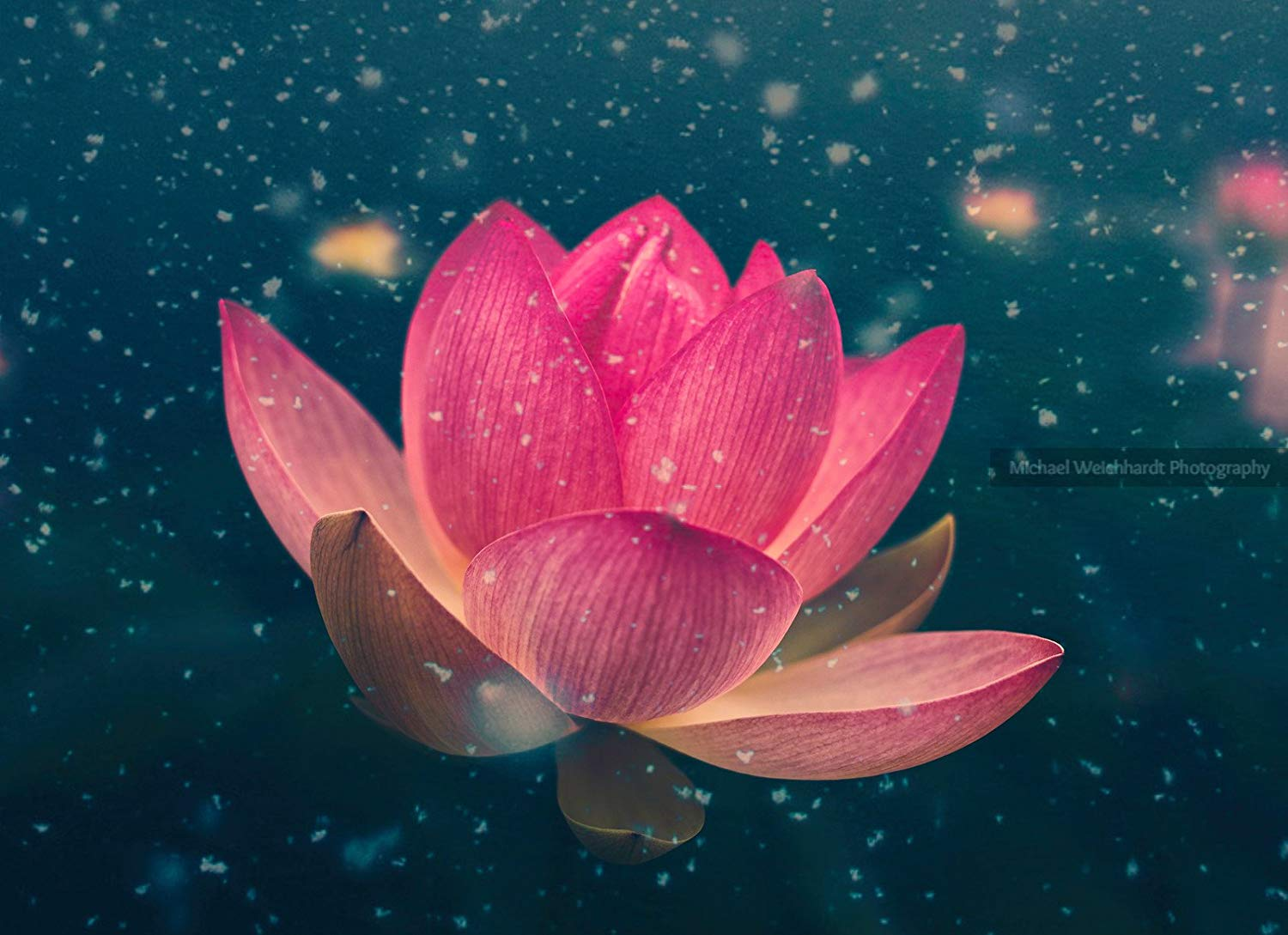 Winter Lotus Flower Wallpaper Photo Print, Texture, Professional Photography Print, Nature Wallpaper, Paper & Canvas Prints, Nature Photography