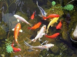 100 calidad superior peces koi a buenos precios buy koi