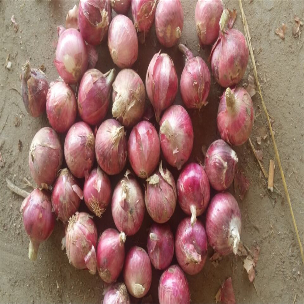 best quality red onion export to Malaysia