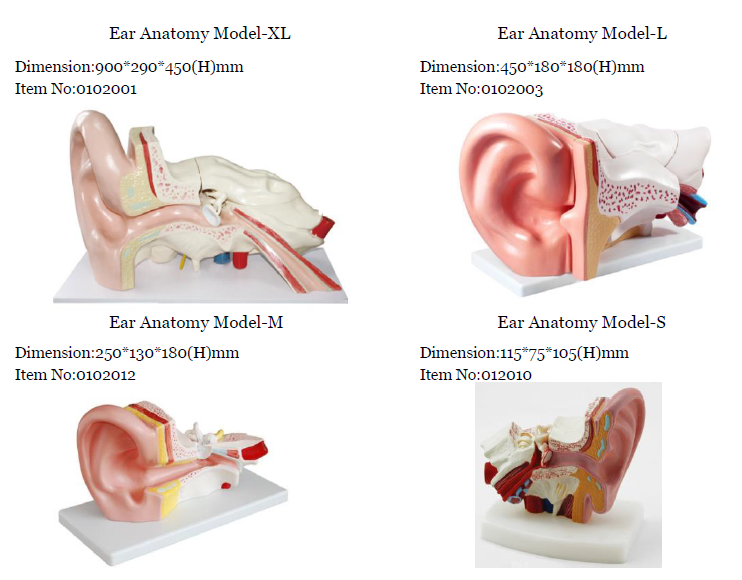Ear Structure Modelear Anatomy Model Or Human Ear Model For Hearing