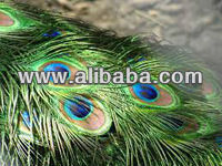 Decorative Natural Peacock Feather With Eye