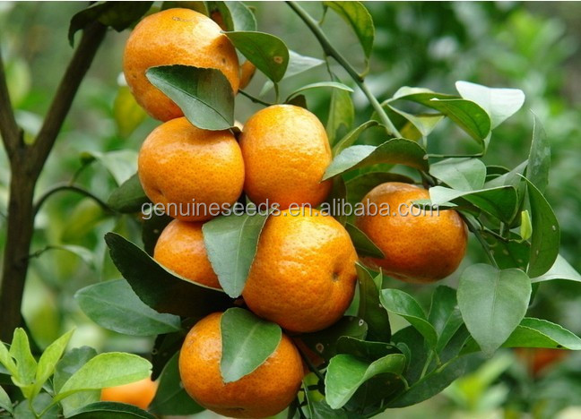 Orange Tree Seeds for planting fruit seeds