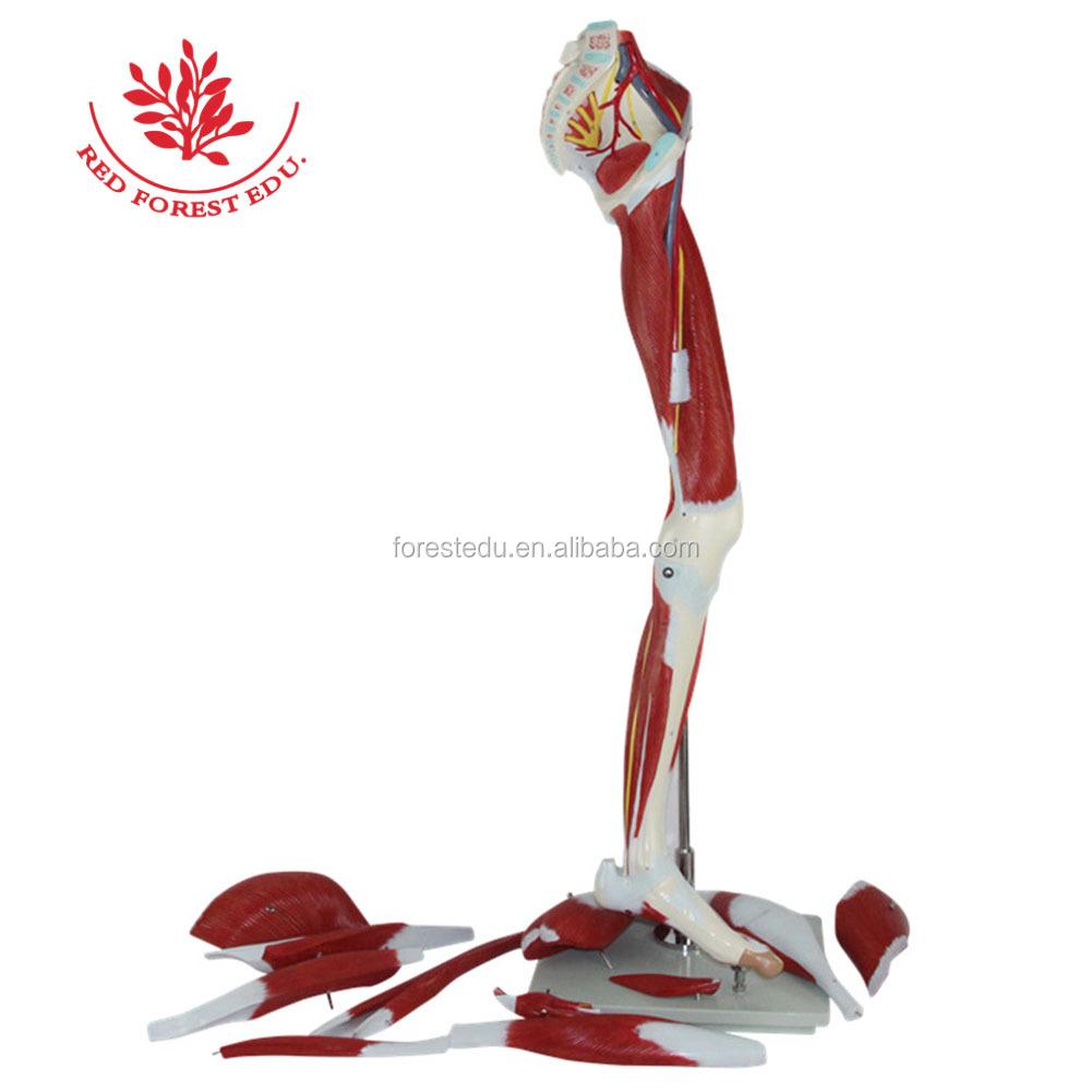 Los músculos de la pierna humana anatomía modelo-Ciencia Médica ...