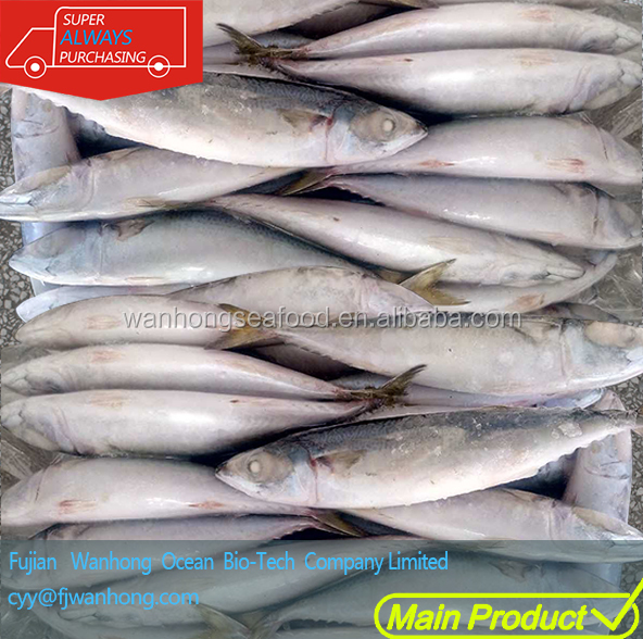 Pacific Mackerel Frozen on Vessel Chub Mackerel Seafrozen Fish