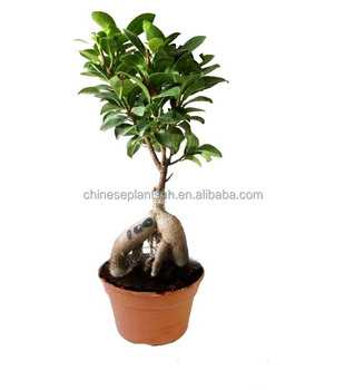 100g Ginseng Grafted Ficus Bonsai Ginseng Ficus Bonsai Trees Live