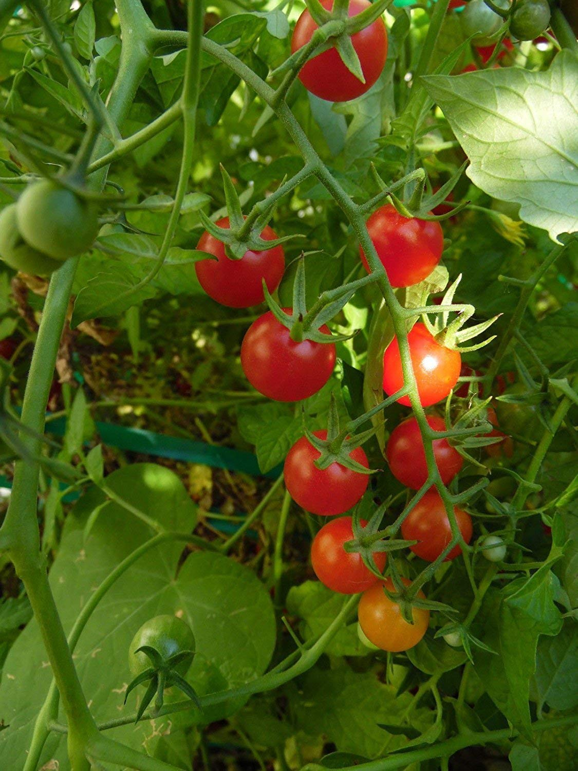 Glamouras Sweetie Tomato Seeds! Super Sweet with Loads of Fruit! Comb. S/H See Our Store