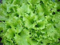 Garden Lettuce Seeds for planting