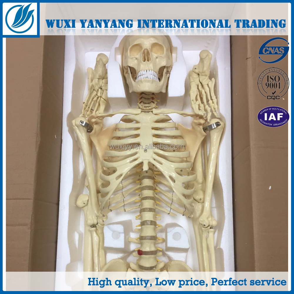 Medical human body skeleton 180CM anatomic practice model