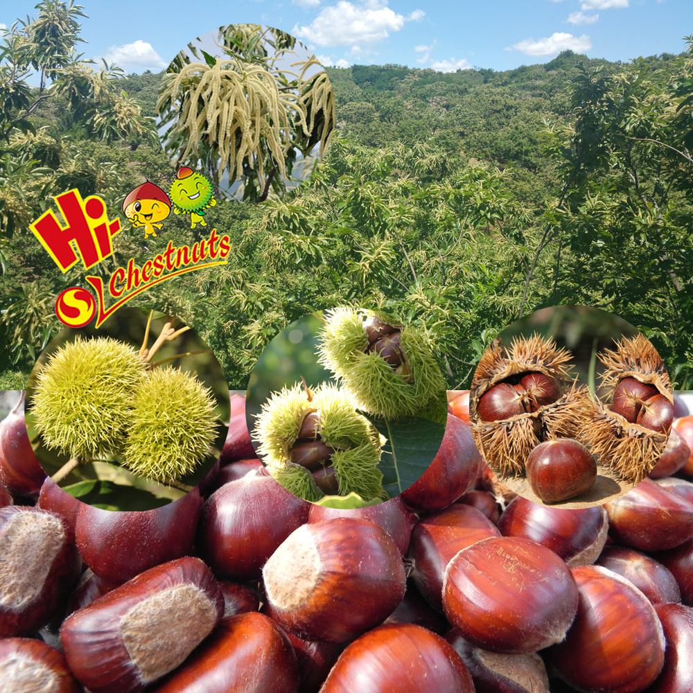 Fresh chestnuts30.jpg