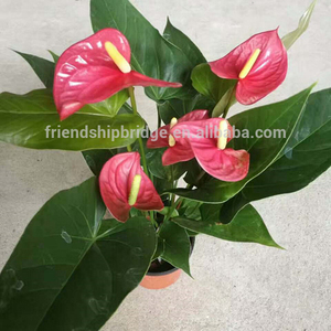 Ornamental Red Pink White Anthurium plant for sale