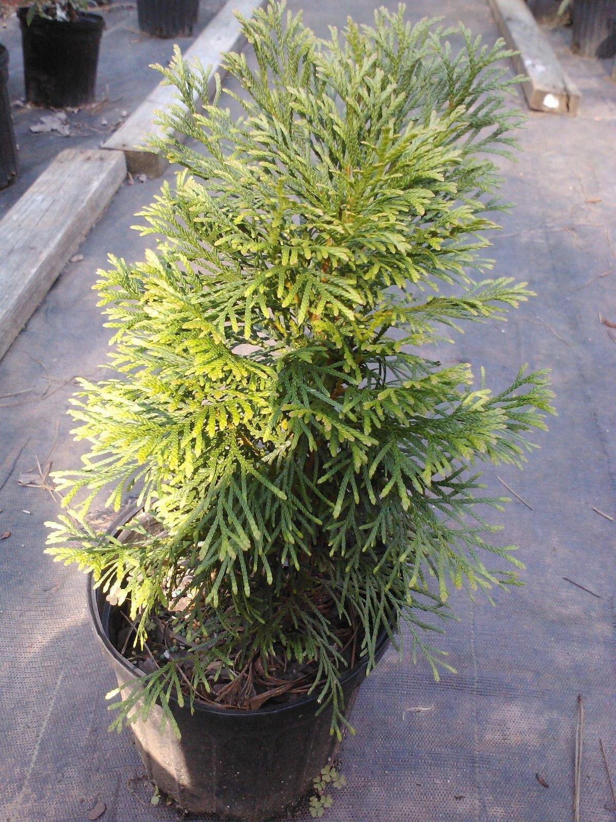 Dwarf Emerald Green Arborvitae Compact Evergreen Great For Colder Zones Hydrangeas Shrub