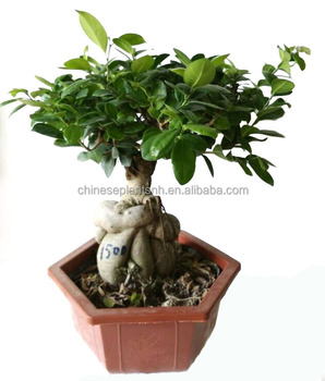 1500g Ginseng Grafted Ficus Bonsai Ginseng Ficus Bonsai Trees Live