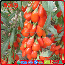 Barbary wolfberry fruit dry goji berries organic goji in farm high quality