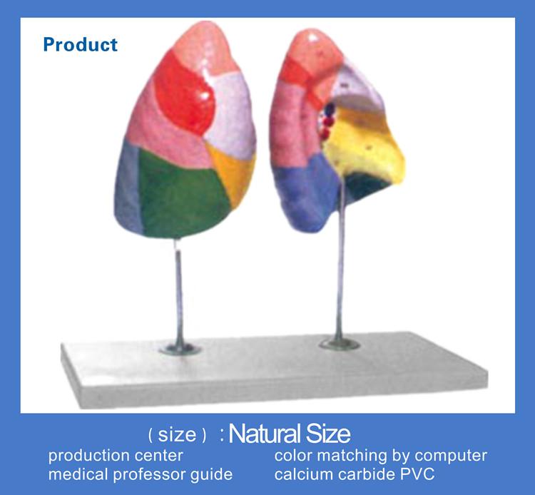 Menschlichen Anatomische Ausbildung Lunge Segmente Modell - Buy ...