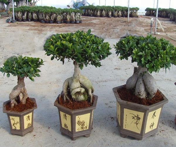 Ficus Microcarpa Buy Ficus Microcarpa Ficus Ginseng Bonsai Product On Alibaba Com