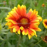 Perennial Gaillardia Gaillardia Flower seeds