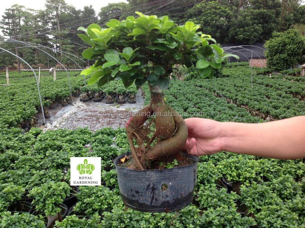 Bonsai Voor Binnen.Ficus Microcarpa Ginseng Binnen En Buiten Bonsai Buy Microcarpa Ficus Bonsai Microcarpa Bonsai Product On Alibaba Com