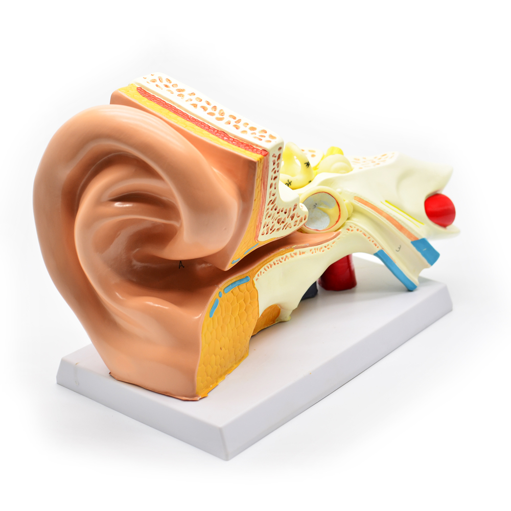 Ear Anatomy Model, Ear Anatomy Model Suppliers and Manufacturers at ...