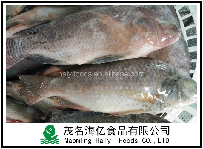 live fish for American market 350-550 frozen gutted and scaled tilapia