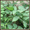 Black Cohosh Extract Actein