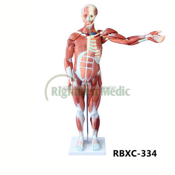 80 Cm Músculo Humano Modelo Masculino (27 Partes) Humano Anatomía ...