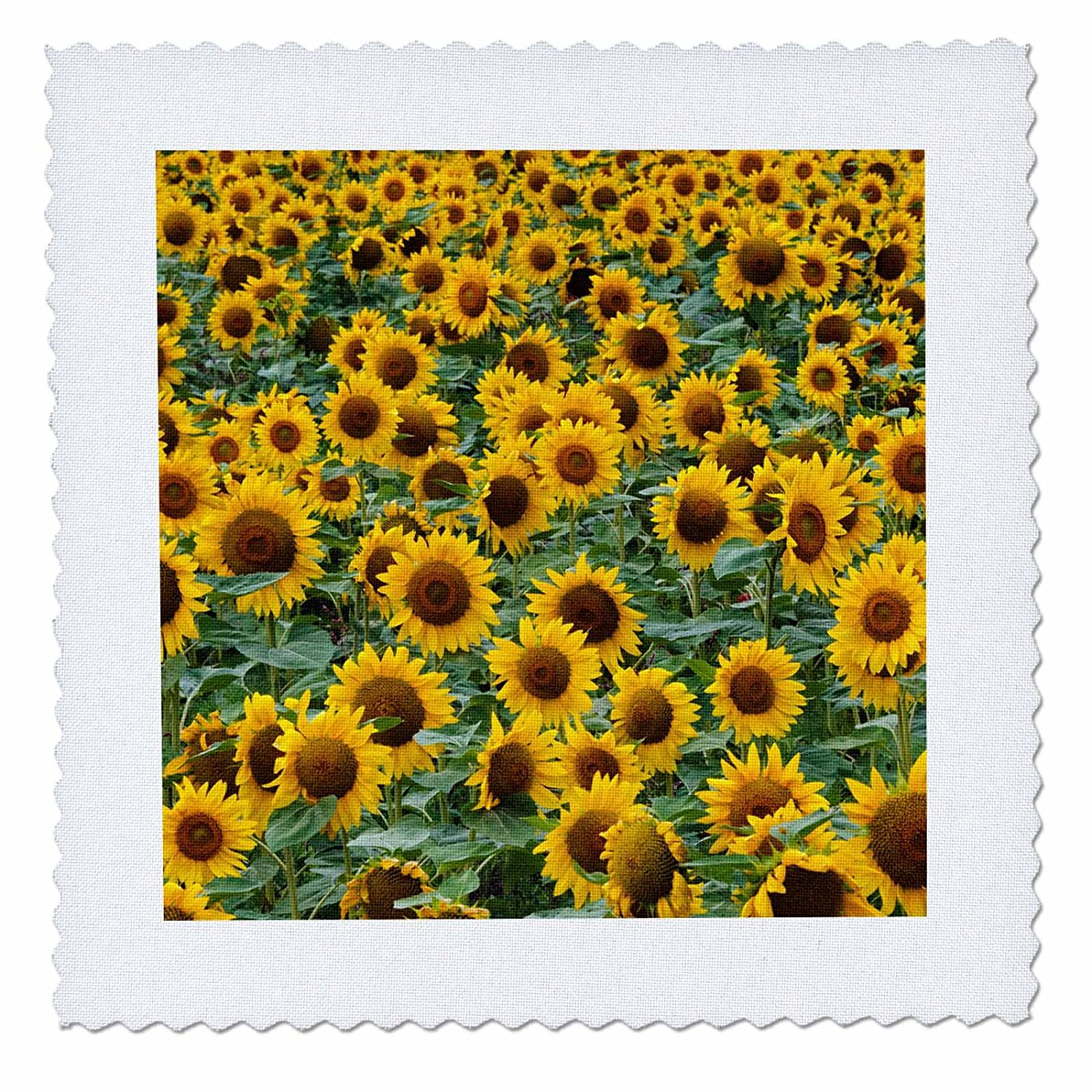 3dRose Danita Delimont - Flowers - Sunflowers in the flower farm, Furano, Hokkaido Prefecture, Japan - 22x22 inch quilt square (qs_276891_9)
