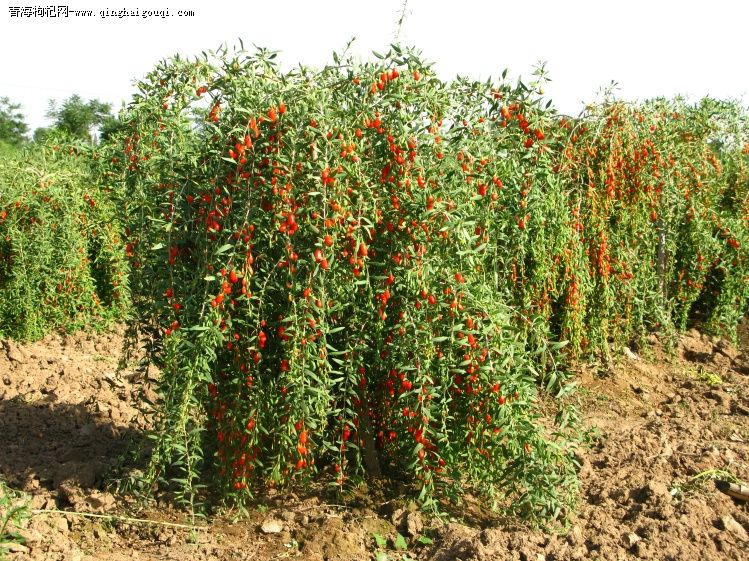 Hybrid F1 Ningxia Best Quality Goji Berry Seeds For Goji Plants