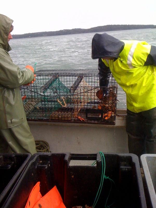 live candian lobster