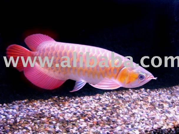 Red Arowana Fish | Red Arowana Fish Buy Arowana Fish Product On Alibaba Com