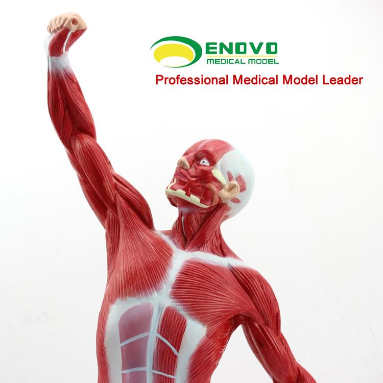 VERKAUF 12028 Medical Anatomie Mini 50 cm Menschmodell, menschlichen ...