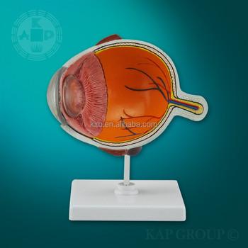 Seguridad Globo Ocular Modelo Médico,Modelo Anatómico Del Ojo,Ojo ...