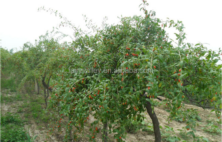 Come Here To Buy Organic Goji Berry Plant Bush Seeds For Growing