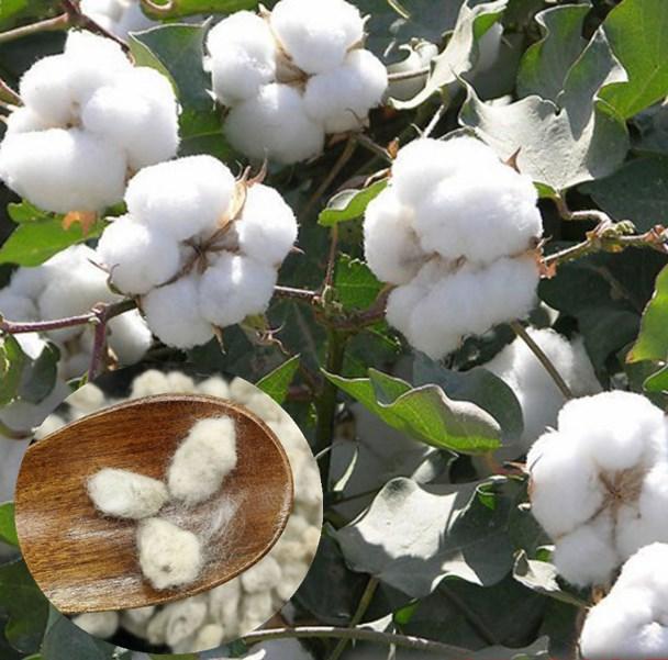 أفضل سعر المجففة بذور ل زراعة القطن-بذور هجينة-معرف المنتج ...