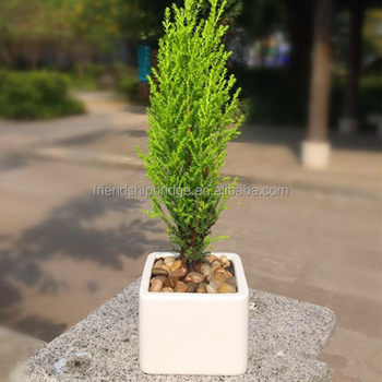 live christmas tree monterey cypress goldcrest for exporting - Cypress Christmas Tree