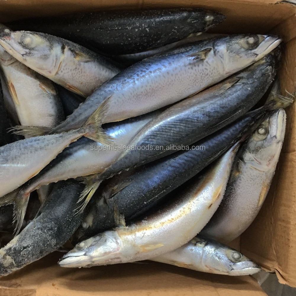 raw material of frozen whole pacific mackerel and saba mackerel