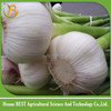2016 new season fresh garlic price at competive price
