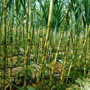 High yield white sugarcane seed for cultivating
