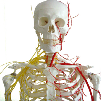 Buy one 12362 Skeleton <strong>Model</strong> , Life Size Human Anatomy Skeletal with Nerve Medical <strong>Model</strong>