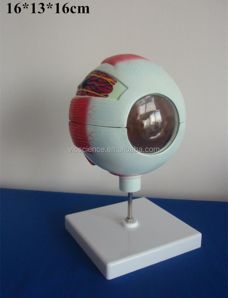 Menschliche Auge Modell Vergrößert Auge Anatomie Modell - Buy Auge ...