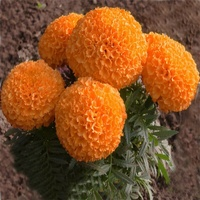 Fresh F1 hybrid Marigold flower seeds with high seedling emergence and germination rates