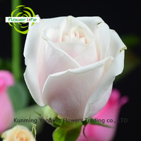 China Single High Quality Nature High Quality Rose Pink Avalache Flower At A Good Price The Name Of The Rose Pink Avalache