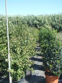 Hibiscus Syriacus Tree Plant 1