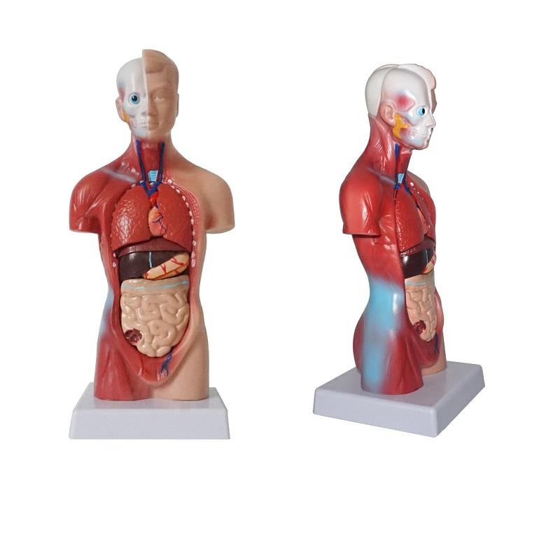 Human Torso Anatomy Model Human Anatomy Toys, Human Torso Anatomy ...